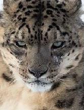 leonelofera